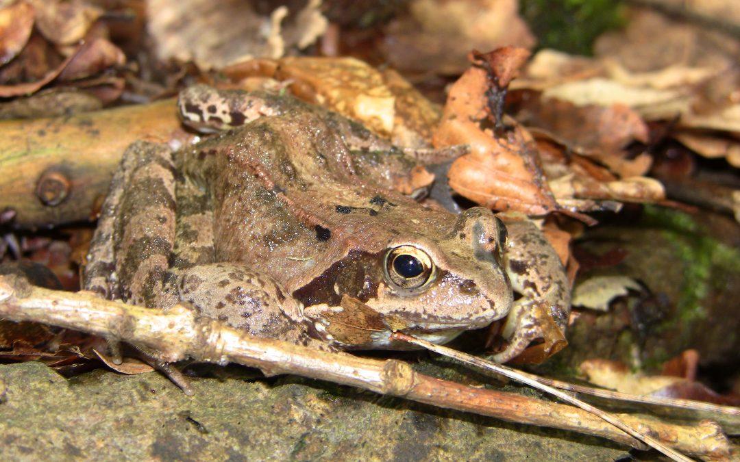 Die Amphibienwanderung beginnt! Ehrenamtliche Naturschützer gesucht!