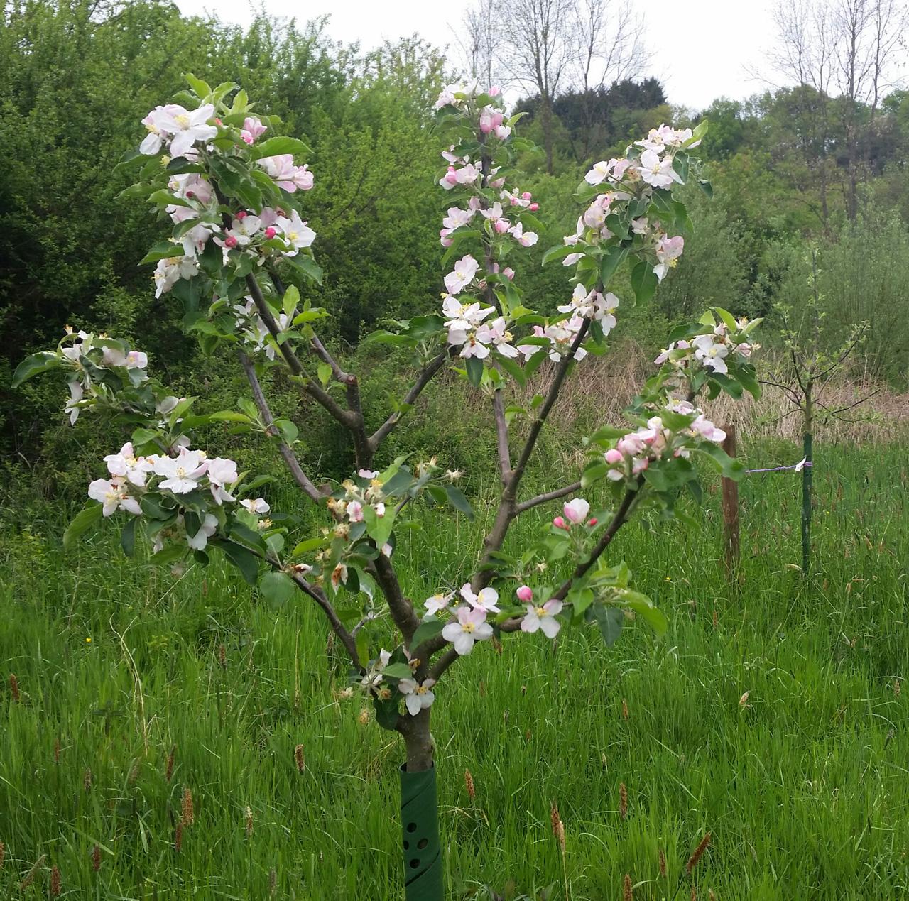 Apfelbäume für das Naafbachtal